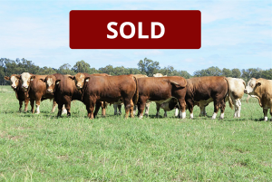 20 Paddock Bulls Currently Available For Sale.